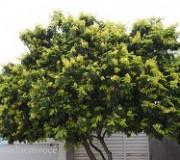 pau-brasil-florido