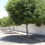 rua-arborizada