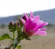 flor-do-quiabento