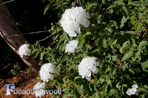Um Buquê Branco Das Flores Mais Lindas Do Sertão Notícias
