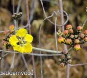 flor-amarela-do-sertao-1
