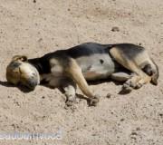 cachorro-dormino