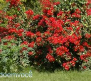bougainvillea-vermelho