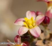flor-do-pinhao-sertao-1