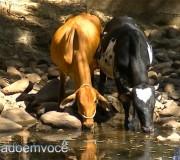 gado-tomando-agua