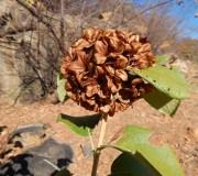planta-caraibas-1