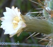 flor-do-cacto-xique-xique