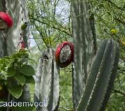 fruto-do-mandacaru