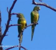 periquito-da-caatinga-casal
