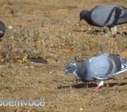pombo-passaro