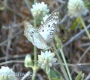 borboleta-branca