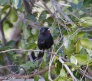 passaro-negro-caatinga