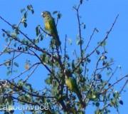 periquito-da-caatinga