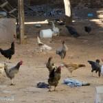 galinhas-no-terreiro
