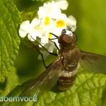 inseto-sugador-de-nectar