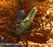 vespa-matando-gafanhoto