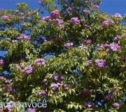 flor-do-ipe-rosa
