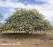 umbuzeiro-florido-1