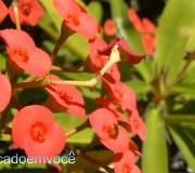 coroa-de-cristo-planta