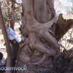 gameleira-coqueiro