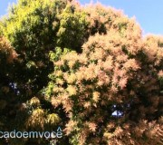 mangueira-florida