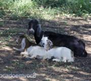 cabra-com-filhotes