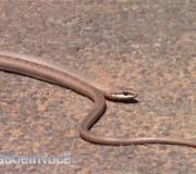 cobra-cipo