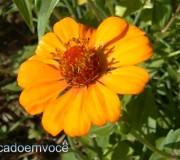 flor-da-zinia