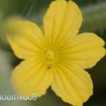 flor-do-maxixe