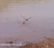 libelula-acasalando