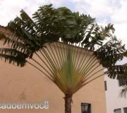 palmeira-bananeira
