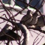 pombinha-branco