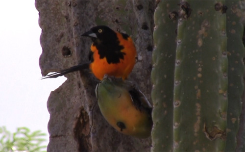 Pássaro Caatinga