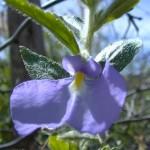 flor-azul-dosertao
